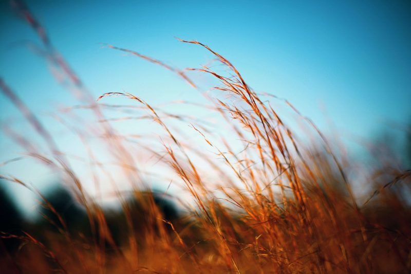 a photo of bending grass on a sunny windy day